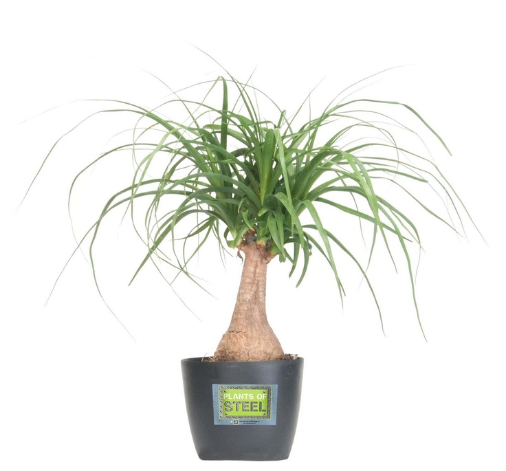 Ponytail Palm from Plants of Steel. I bought one a few weeks ago and I'm keeping my fingers crossed that I don't kill it.House Plants, Gardens Favorite, Fairies Gardens, Houseplants, Ponytail Plants, Indooroutdoor Plants, Indoor Outdoor Plants, Ponytail Palms, Indoor Plants