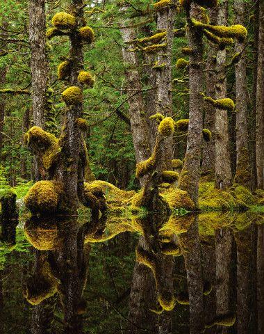Swamp Forest, Naikoon Provincial Park, Haida Gwaii, British Columbia, Canada.