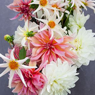 Coconut Ice Dahlia Collection