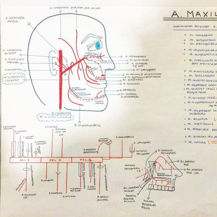 A.maxillaris 💉  _______________________  #maxillaris #maxilla #artery #arteria #medicalstudent #medicalstud #medstud #studynotes #notes #medisinstudent #student #medschool #medicalschool #study #studying #studyhard #anatomi #anatomy #blood #cranial #head #studygram #studyblr #studyspo #studyblrsquad #notater #sketch #drawing #futuredoctor