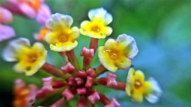 Lantana Camara Usually Known In Hindi As Raimuniya In Hindi Tantani Or Ghaneri In Marathi Flower Flowers Lantanacamara Instagram Brainstorming Plants