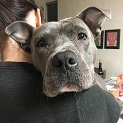 New York, New York - Pit Bull Terrier. Meet Isabella, a for adoption. https://www.adoptapet.com/pet/19122409-new-york-new-york-pit-bull-terrier-mix