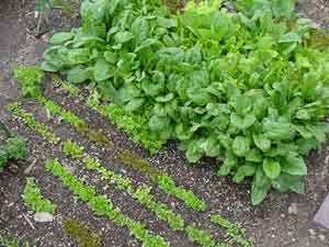 Advice for the New Colorado Vegetable Gardener