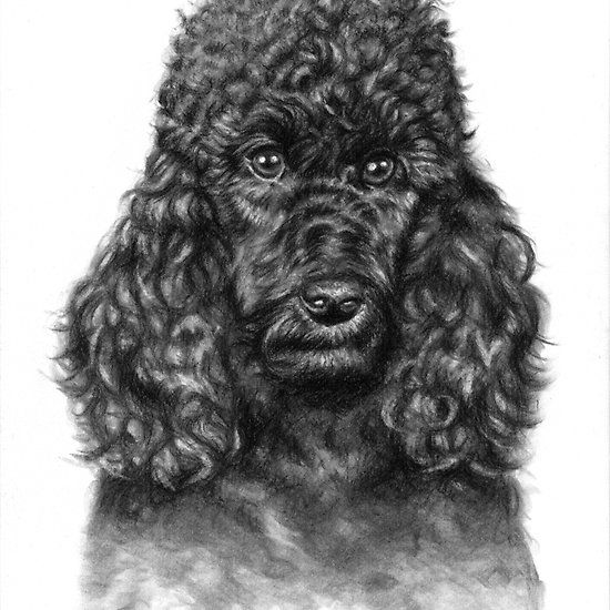 The Poodle Portrait, charcoal drawing by Nicole zeug, www.arts-and-dogs.de