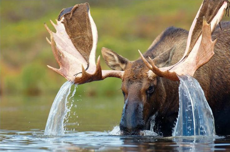 WATER CASCADING FROM A MOOSE'S ANTLERS  Photograph via iDrinkYourShake on Reddit  Unfortunately I wasn't able to find much about this beautiful photograph. It was submitted to Reddit by iDrinkYourShake, but a reverse image search on Google and Tineye did not produce any results. What we do know is that it's a bull [...]