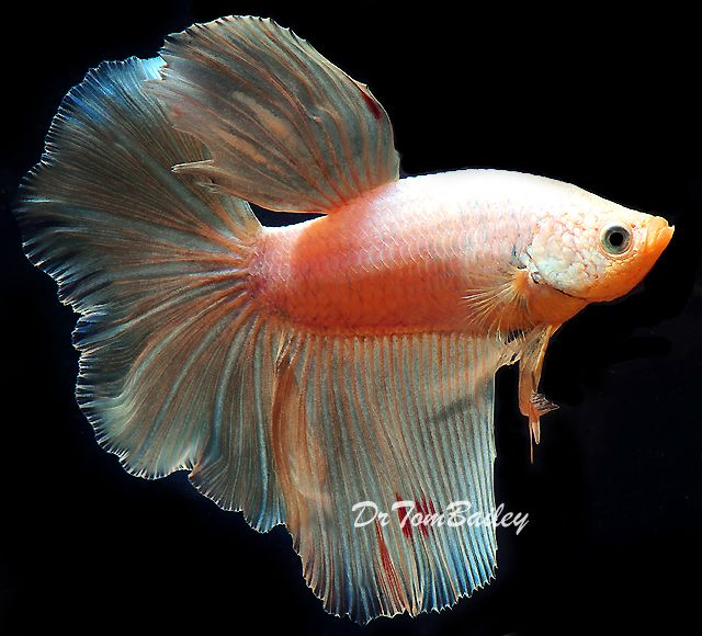 168 best betta fish images on pinterest aquarium fish for List of fish that can live with bettas