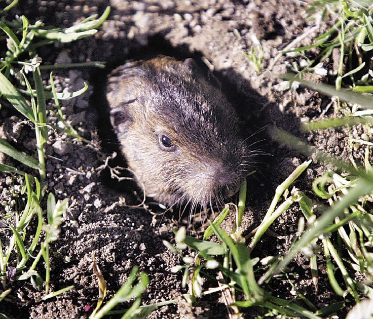 Gopher In Backyard: 13 Best Images About Gophers And Other Garden Pests.. On