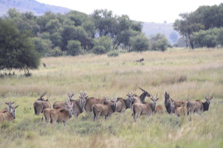 The tall grass of the savanna plains perfectly suit the wildlife in the Vredefort Dome. Photo credit: Tracey Fourie