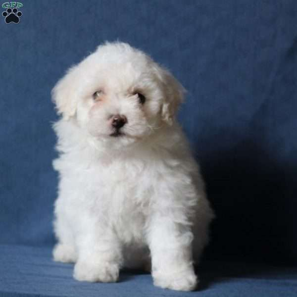 Bailey Bichon Frise Puppy For Sale In Virginia Bichon Frise