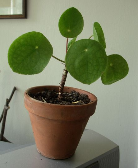 197 best images about pannenkoekenplant pilea peperomioides on pinterest. Black Bedroom Furniture Sets. Home Design Ideas