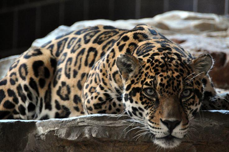 Onca Pintada Tipica Do Brasil Felinos Pinterest
