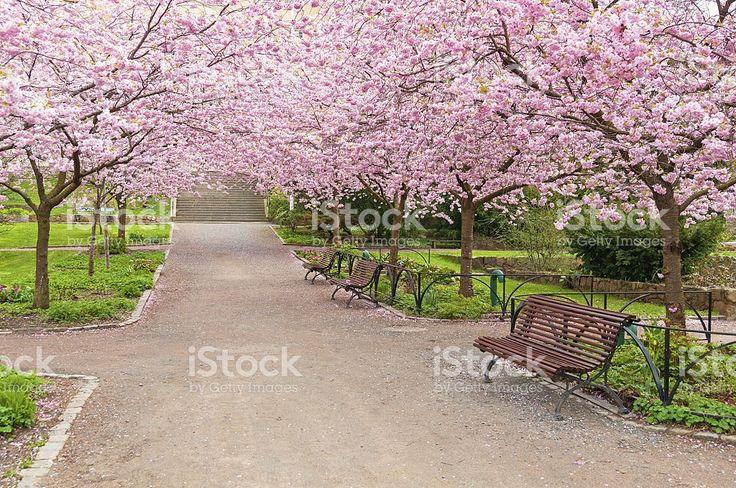 Florescendo flores da árvore de cereja foto royalty-free