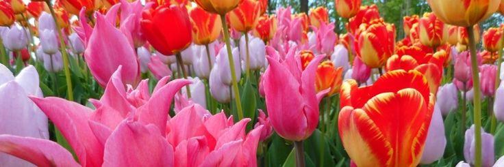 Turkse schoonheid, dat mogen we wel zeggen als we het over tulpen hebben. Schoonheden zijn het op hun ranke stelen, strak recht in het veld en alle kanten op wapperend in de vaas. Tulpen