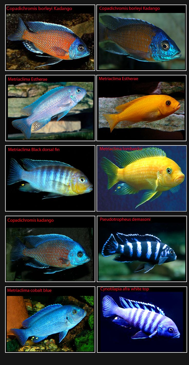 25 best african cichlids images on Pinterest African cichlids
