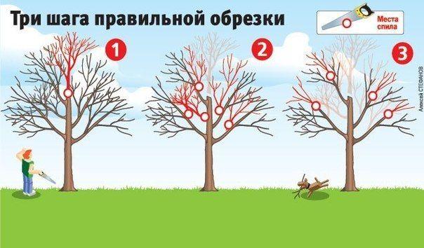 Как вернуть деревьям былую силу [три шага правильной обрезки] Плодовые деревья дают хороший урожай, когда они молодые. Но начиная с 15-летнего возраста их плоды заметно мельчают, урожайность падает, а сами растения чаще болеют. Омолодить ваш сад поможет обрезка. Лучше всего ее делать, когда температура воздуха выше -5 оС. 1. Первым делом нужно укоротить ствол (шаг 1) - его высота не должна превышать двух метров. Только пилите его так, чтобы срез был над какой-нибудь крупной веткой. Иначе…