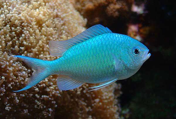 Image Result For Blue Green Chromis