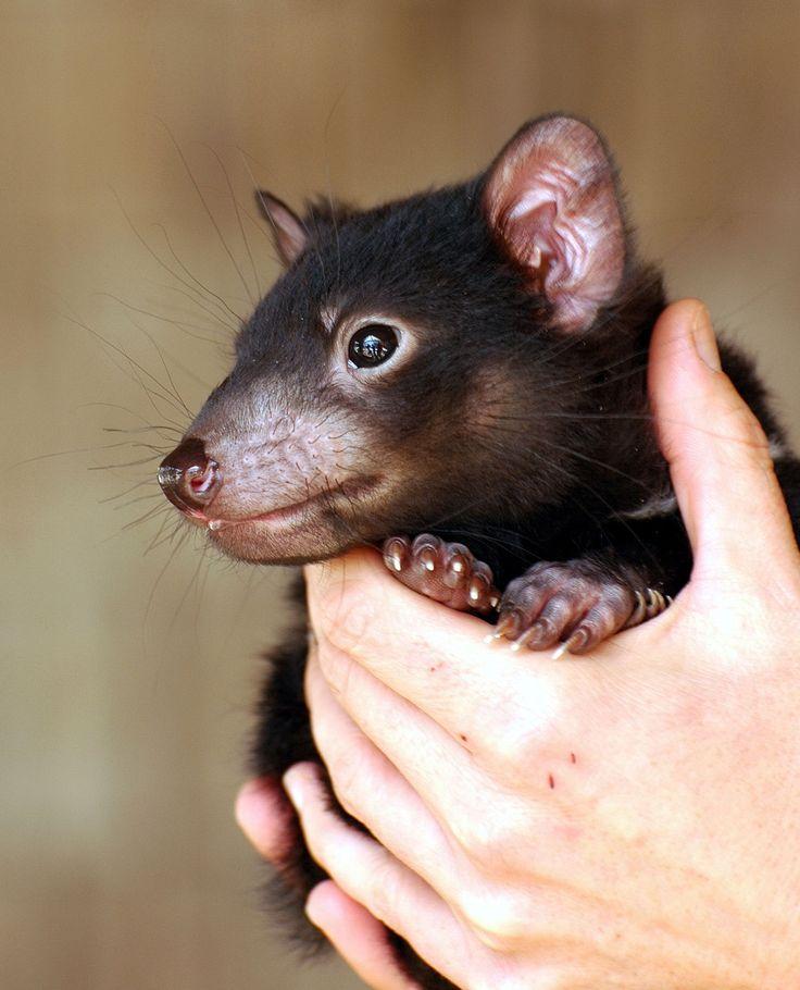 A Tasmanian Devil Juvenile or Joey