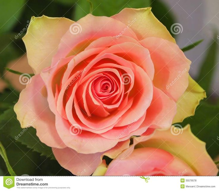 A yellow and pink rose