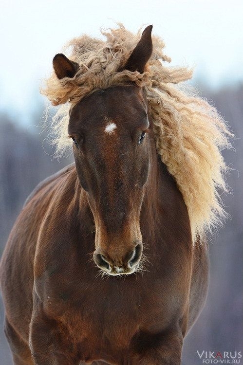 Lutik--Mix breed horse: Soviet draft horse and Russian draft horse. by Vikarus