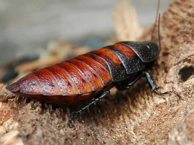 I got: Madagascar Hissing Cockroach! What Kind of Insect Are You?