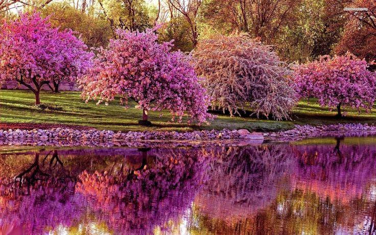 Blühende Bäume Park Teich Japanische Kirschblüte Bäume Natur