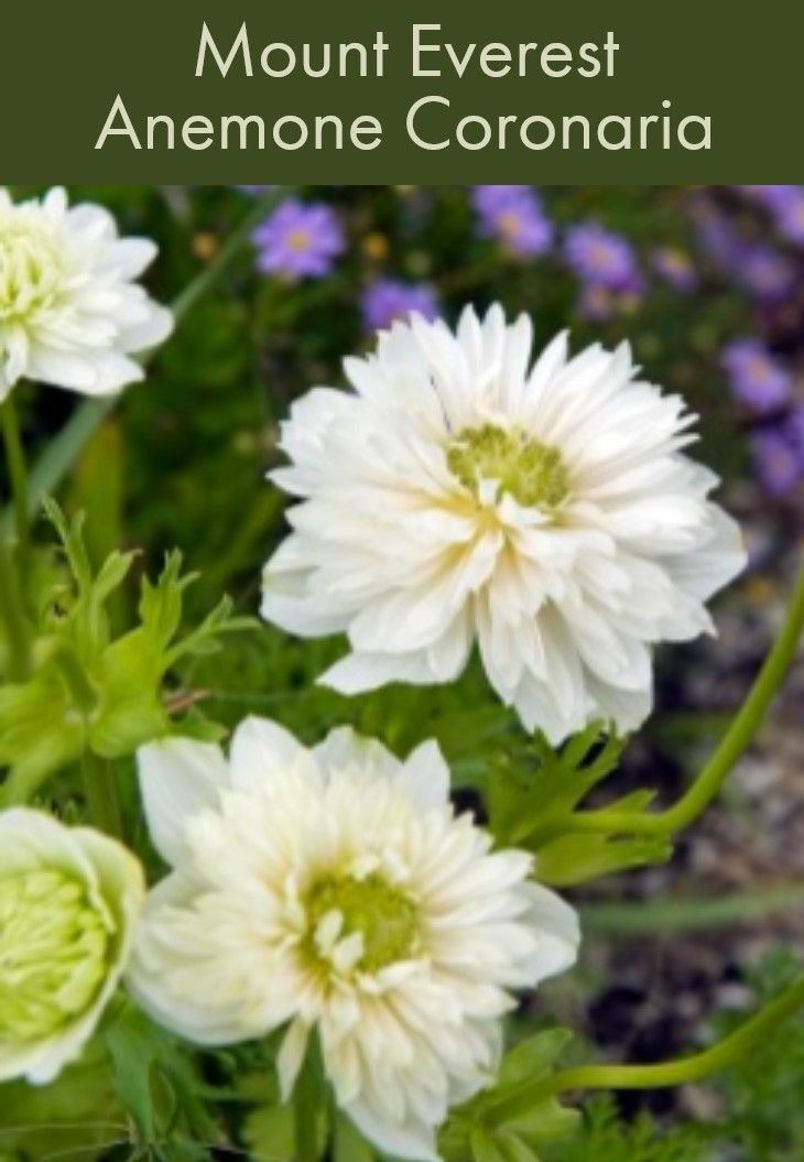 Mount Everest Anemone Coronaria Fast Growing And Free Blooming This Splendid Flower Graces The Garden With Glossy Green Anemone Bulb Flowers Anemone Flower