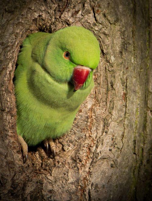 "llbwwb:  "" Ring Necked Parakeet - Psittacula krameri (by Simon Davey, Birds etc)  """