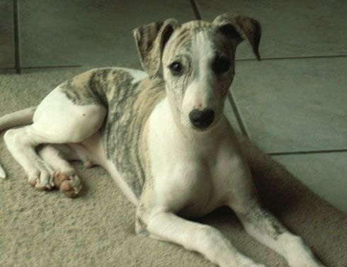 I dunno . . . whippets puppies are pretty cute, too!  (Miss Lulu)