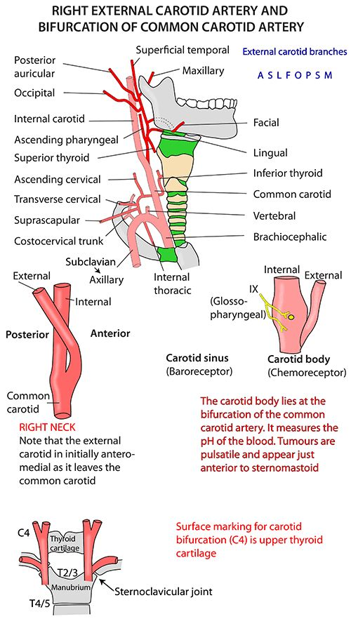 Instant Anatomy - Head and Neck - Vessels - Arteries - Common carotid - General