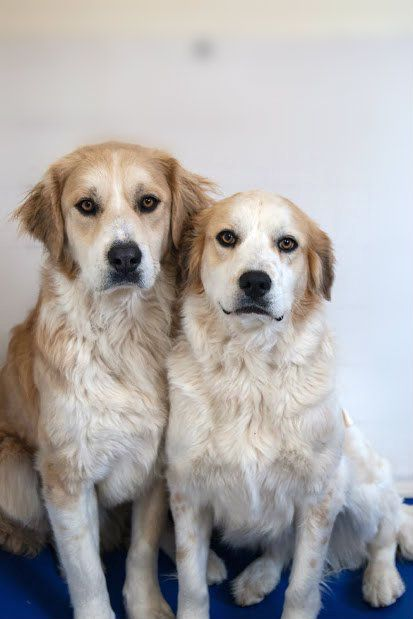 Kovu & Kiara - Great Pyrenees/Golden Retriever mixes - Bonded Littermates - Brother & Sister - 2 yrs old - Animal House (Dog Rescue) - Fort Collins, CO. - http://animalhousehelp.org/adoptabledogs.php - https://www.facebook.com/animalhouserescue - http://www.petfinder.com/petdetail/27165509/ -