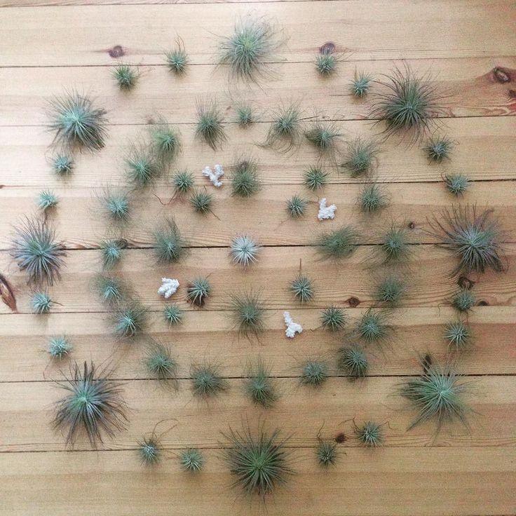 Mandala time#tillherbacaeli #tillandsia #happyplants #green #airplants…