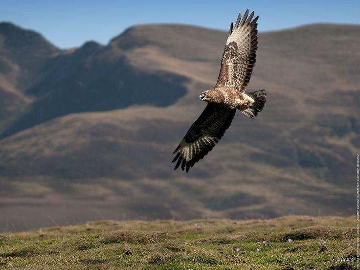 Oiseau buse variable la chasse au sol