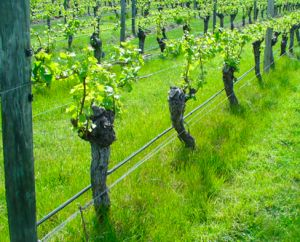 A vineyard in New Zealand in which ryegrass has evolved resistant to glyphosate. Photo courtesy of Rod Brailsford Blenheim New Zealand. Theres no doubt that herbicide resistance is a problem. It damages profits and the environment but how does it happen? In a recent article in AoB PLANTS Ghanizadeh and Harrington suggest that we could get a better understanding of herbicide resistance in weeds by investigating the evolutionary physiology involved. They list three ways they think plant…