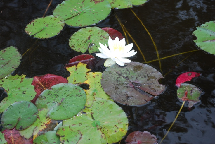 Flowers floating on the Lake