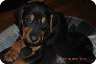 Marlton, NJ - Labrador Retriever/Rottweiler Mix. Meet Spanky, a puppy for adoption. http://www.adoptapet.com/pet/13466757-marlton-new-jersey-labrador-retriever-mix