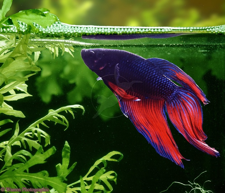 223 best images about aquaria on pinterest tropical fish for Fighting fish tank