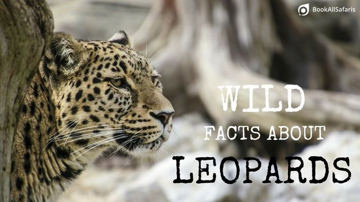 Wild Facts About the Big Five: No. 3 – the Leopard - BookAllSafaris.com