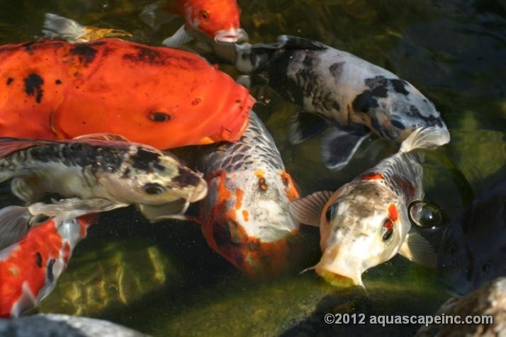 54 best images about pond fish on pinterest japanese koi for Best pond fish