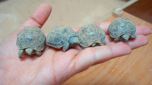 Come distinguere il sesso delle tartarughe