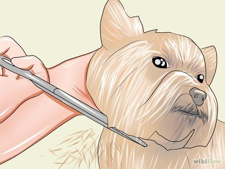 How to Groom a Yorkshire Terrier                                                                                                                                                                                 Plus