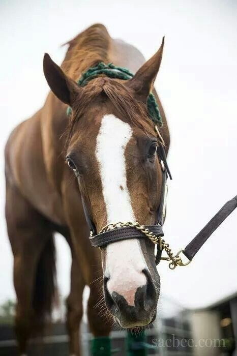 Kentucky Derby/ Preakness Winner CALIFORNIA CHROME. Celebrate the majestic horse with sterling silver equestrian jewelry: http://www.silveranimals.com/horseshoe_necklace.htm