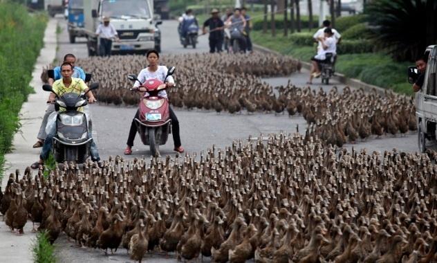 #twittercritter  An annual pilgrimage of ducks!