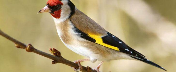 معلومات عن طائر الحسون Animals Bird