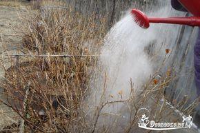 полив смородины кипятком