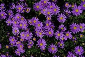 """Brachyscome 'Mauve bliss"""" - flowers so easily and all year long, even in Canberra"""