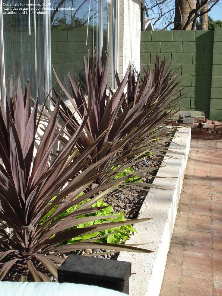 Photo Of Cabbage Palm Cordyline Red Sensation