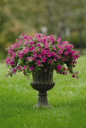 23 best images about easy wave petunias on pinterest - Wave petunias in containers ...