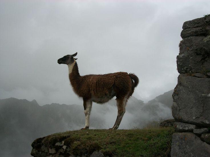 Sentinel in Machu Picchu, Peru Eureka Travel #SouthAmerica