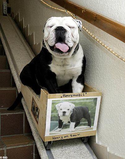 ♥ Baggy Bulldogs Rescue Nederland ♥