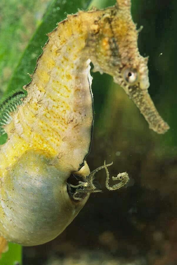 A male seahorse giving birth <3